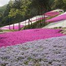 芝桜の丘を夢見て